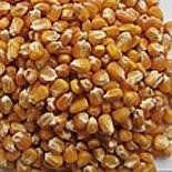 Kukurydza drobna paszowa