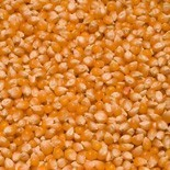 Kukurydza popcorn